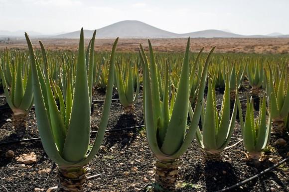 Aloe_vera_plantation_Fuerteventura_by_Nikodem_Nijaki